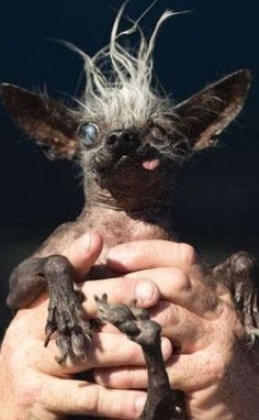 Meet the winner of the World's Ugliest Dog contest
