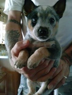 The most adorable blue heeler puppy ever