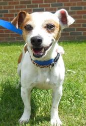 Tink is an adoptable Jack Russell Terrier Dog in Erie, PA. *** All pet adoptions require an approved application for adoption to be filled out in-person by the prospective adopter! There is NO online ...