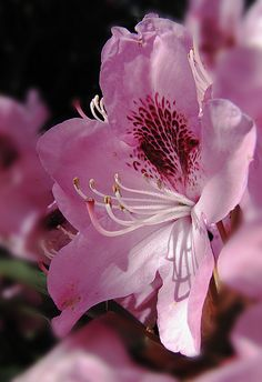 Pink rhododendron with speckles 3