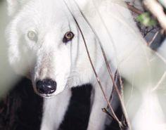 Wolfwatcher Shared Annie Marie Musselman Photo