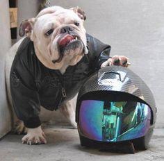 Biker English bulldog