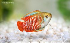 Dwarf Gouramis are lovely fish to keep in any home fish tank. Read our ultimate Dwarf Gourami care guide and see how easy these fish are to keep. Saltwater Tank, Saltwater Aquarium, Freshwater Aquarium, Aquarium Fish, Planted Aquarium, Saltwater Fishing, Tropical Aquarium, Tropical Fish, 10 Gallon Fish Tank