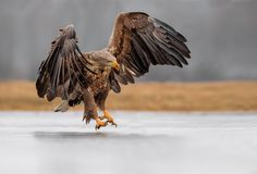 The Sea Eagle is the king of birds.