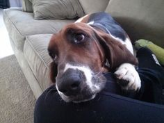 Sweet basset hound. Mom said there would be days like this but I didn't believe her.