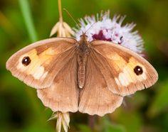 Bruin zandoogje (Maniola jurtina) - Meadow Brown