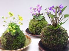 The Fern and Mossery: Moss Monday: How to Water Kokedama or Moss Balls