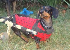 Vesper, from south Africa is our featured cover model this week on our Facebook page, National Walk 'N Roll Dog Day. Come join us for more inspiring photos and stories.