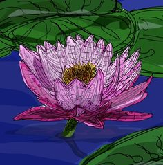 water lillies flowers