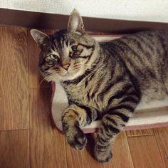 「夕方ムサシさん。オモチャを狙う狩人の顔。Hunter. #musashi #mck #cat #キジトラ #ムサシさん」