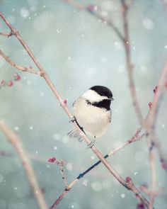 Fine art bird photography print of a cute little chickadee in the snow by Allison Trentelman.