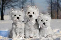 Westies in the snow