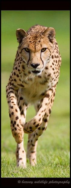 amazing Cheetah in Action  © harvey wildlife photography #africa safari wildlife wilderness leopard puma panther panthera pet animal nature big cat