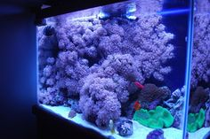 """A reef tank completely overgrown with Xenia (but still beautiful imo) from Reef2Reef thread: """"So, you think you want to keep Xenia..."""""""