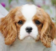 Perfection -Cavalier pup - best dogs in the world!