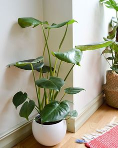 For this #monsteramonday I present you my newer monstera (she's made an appearance before let's show her off again). I've never seen a more graceful plant . . #plant #plants #greenery #houseplants #foliage #urbanjungle #indoorplants #plantlove #plantsofinstagram #plantlife #plantslover #plantparenthood #instaplants #plantsarefriends #plantaddict #plantcommunity #urbanjunglebloggers #monstera #monsteramonday #houseplant #plantsmakepeoplehappy #plantcollector #plant_addiction