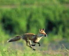 Image result for fox running