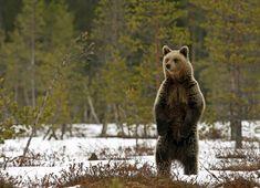 Lappeenrannassa liikkuu loukkaantunut karhu – metsästäjät ruokkivat karhua, joten se ei ole äkäinen | Yle Uutiset | yle.fi Brown Bear, Animals, Animaux, Animales, Animal, Dieren