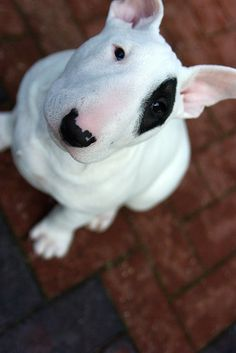 English Bull Terrier pup. Cute but need firm consistent handling they are powerful stubborn and in a Billie mad half hour run can knock over a chunky grown man easily.