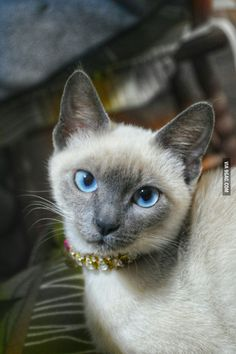 Siamese Cats Blue Point My 3 month old siamese that came to my life in one of my thoughest moments and saved me. I truly love her ❤ - - More memes, funny videos and pics on Siamese Kittens, Cats And Kittens, Tabby Cats, Funny Kittens, Bengal Cats, White Kittens, Black Cats, Pretty Cats, Beautiful Cats