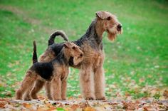 Welsh Terrier and Airedale Terrier