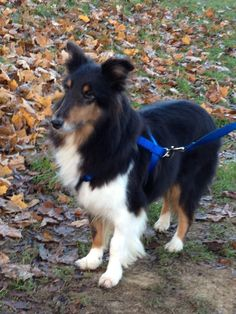Sophie is a sweet, 10-year old tri-colored Sheltie.  She is a loving, kind dog that is quick to learn and very obedient.Sophie came to rescue from an overcrowded dog household and it seems didn't get a lot of attention, so she is cautious about new...