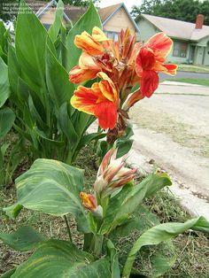 awesome Canna Flowers