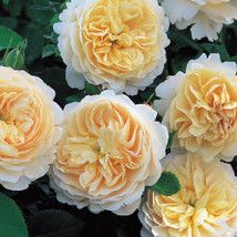 Crocus Rose a robust freeflowering David Austin English Rose with large clusters of cream colored full blooms with soft apricot centers Tea rose fragrance Grows 4 tall Roses David Austin, David Austin Rosen, Fragrant Roses, Shrub Roses, Ronsard Rose, Rose Nursery, Heirloom Roses, Rose City, Buy Roses