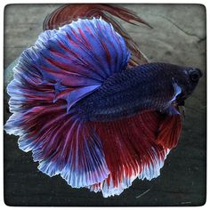 Halfmoon Betta Auctions - Sat May 23 2020 Breeding Betta Fish, Halfmoon Betta, Pet Fish, Underwater Life, Freshwater Aquarium, Swimmers, Aquariums, Sea Creatures, Fresh Water