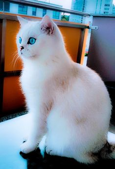 Blue orange british eyes shorthair