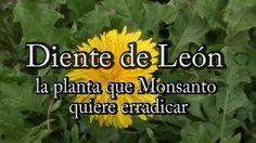 Diente de León: la planta que Monsanto quiere erradicar (con Josep Pàmies)