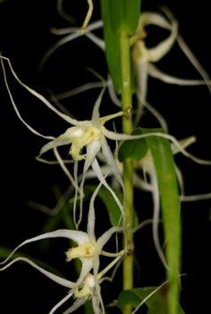 Dendrobium acuminatissimum ~ Orchidee