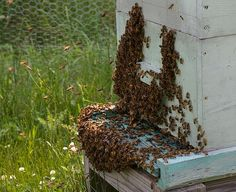 Bee Season: Bearding the Hive