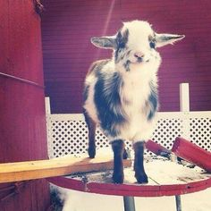 Such a happy little goat!