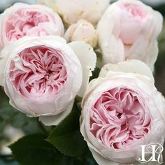 Today's rose is Earth Angel™️, most likely named because the blooms are a heavenly presence by presentation and fragrance. Layers of gently cupped petals create a peony-shaped bloom, varying from a shiny pearl to soft pink. Another extraordinary characteristic of Earth Angel is the sweet scent of freshly cut apple