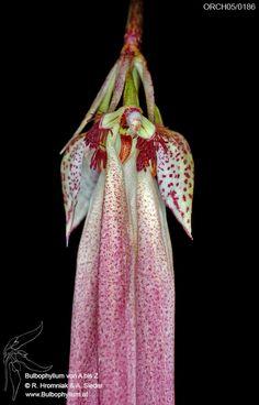 Bulbophyllum_plumatum_4.jpg (545×850)