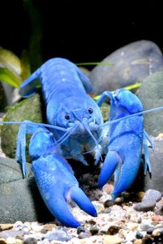 The blue lobster is 1 in 2 million. Recently one was caught off the coast of Maine. The fellow's daughter named it Skylar :) and is donating the rare crustacean to the Maine Aquarium that already has 3 other blue lobsters and an orange one.