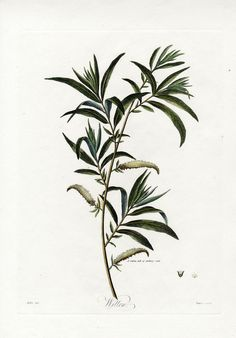 Robert Thornton Botanical Extracts 1810