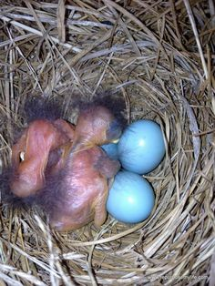 eastern bluebirds, just hatched!