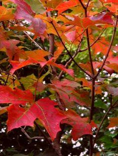 サトウカエデ Acer saccharum 軽井沢植物園2013
