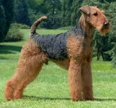 The Airedale Terrier is the largest of the terrier breeds