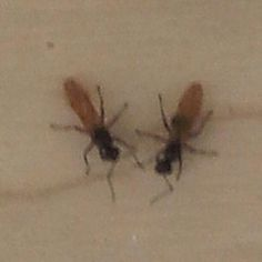 Australian Wildlife - Flying Ants (Meat Ants) preparing to move for Spring wet season.