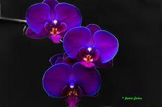 """orquideas 1"" by jose diez,"