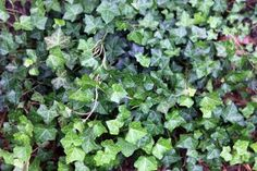 How to Get Rid of Ivy With White Vinegar | eHow