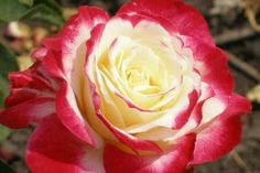 Rose Double Delight – Catalog rose types and rose varieties