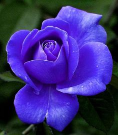 Beautiful Rose Flowers, Love Flowers, Most Beautiful, Purple Wallpaper, Purple Roses, Tulips, Strawberry, Delicate, Star