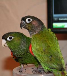 Conures are intelligent parrots and lots of fun. See pictures and read stories written by conure parrot owners and learn how to avoid problem behaviors.