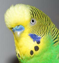Head detail of a male budgerigar.