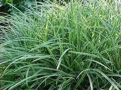 Non-invasive ornamental grass will tolerate all shade - have one side of my home this where this might work well. It is deer-resistant.
