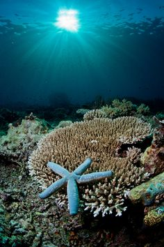Blue Starfish resting on hard coral
